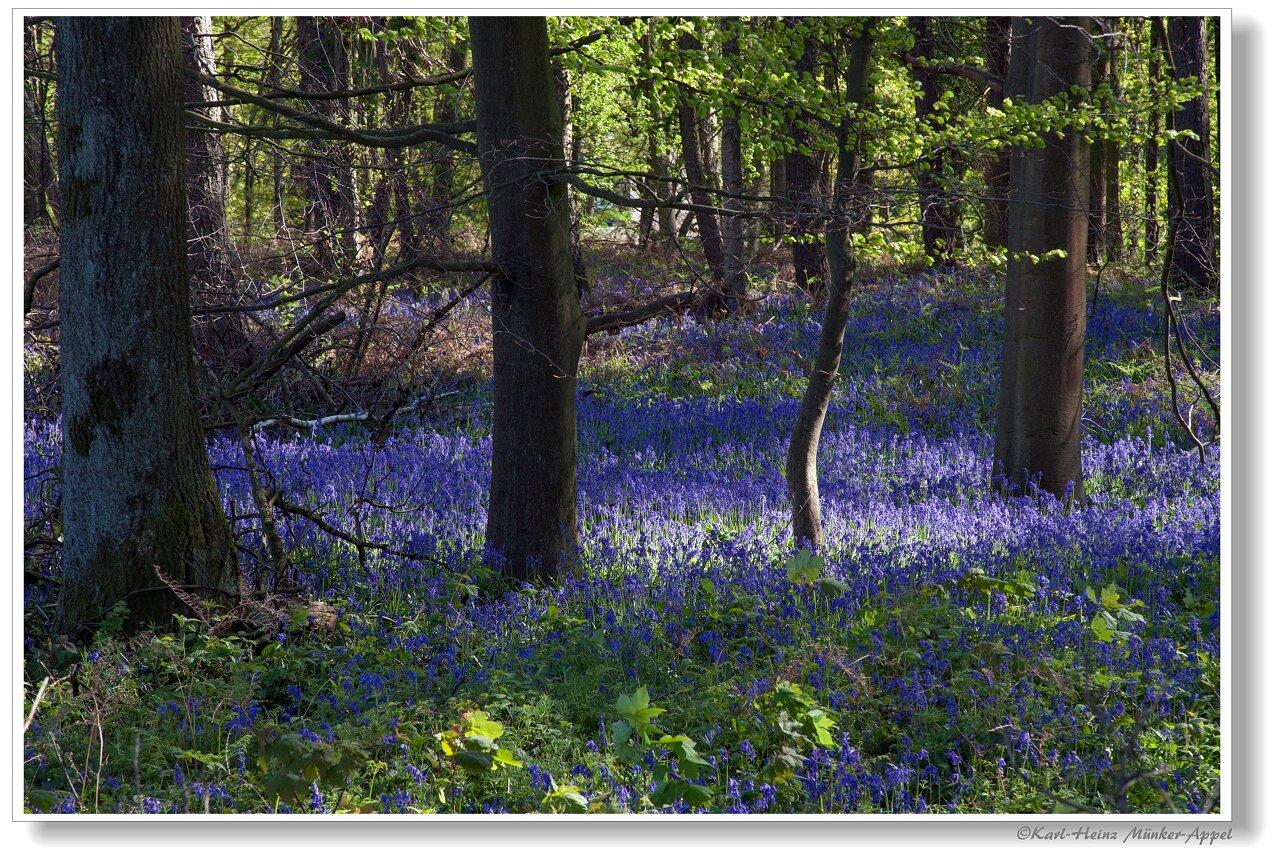 Blaues Blumenmeer in Baal
