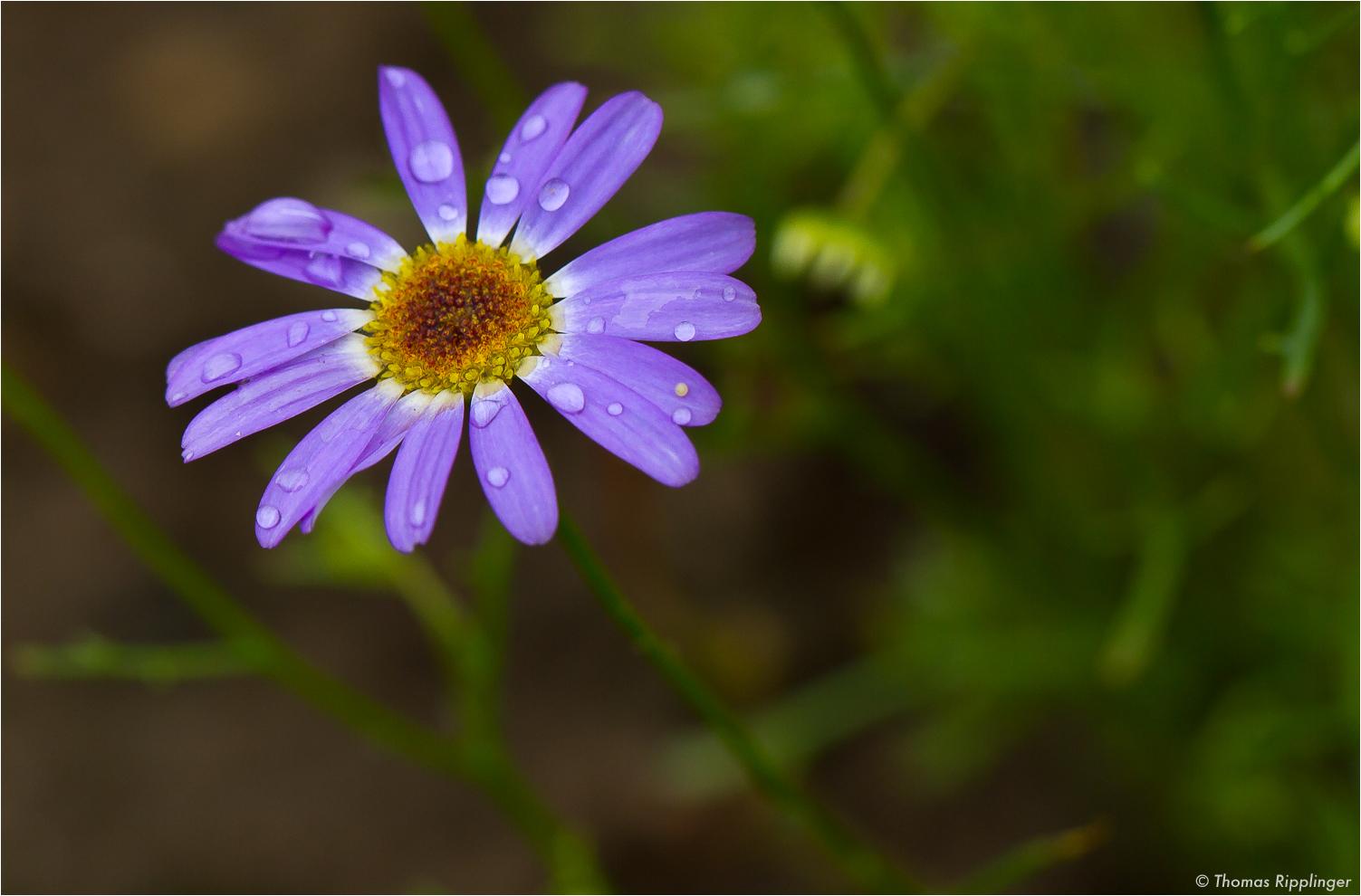 Blaues Gänseblümchen (Brachyscome iberidifolia)