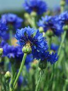 Blaues Köpfchen