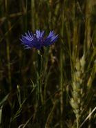 Blaues Licht im Gerstenfeld