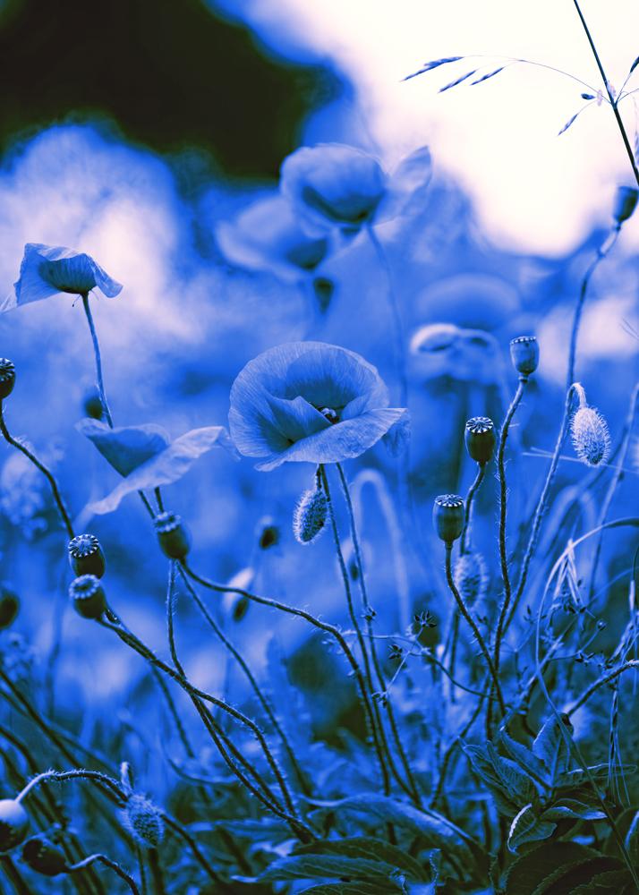 Blaues Mohnblumen Bild