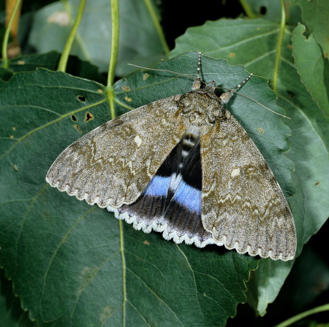Blaues Ordensband, Catocala fraxini, Blue Underwing