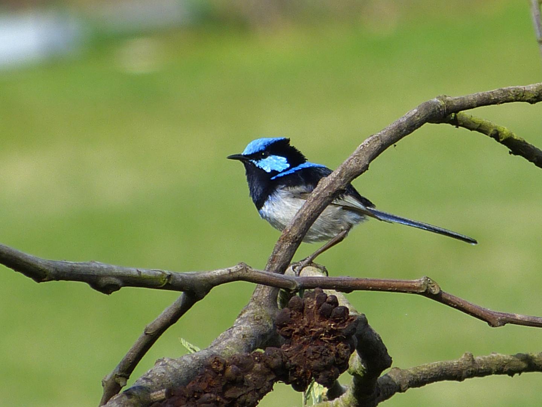 Blaues Vögelchen - Australien