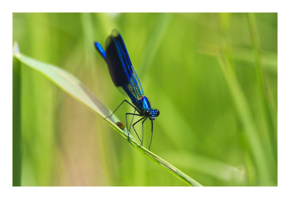 Blauflügel-Prachtlibelle 2