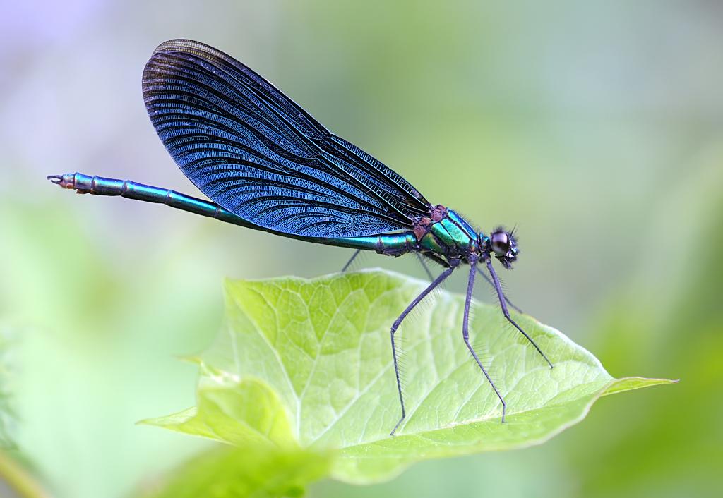 Blauflügel - Prachtlibelle