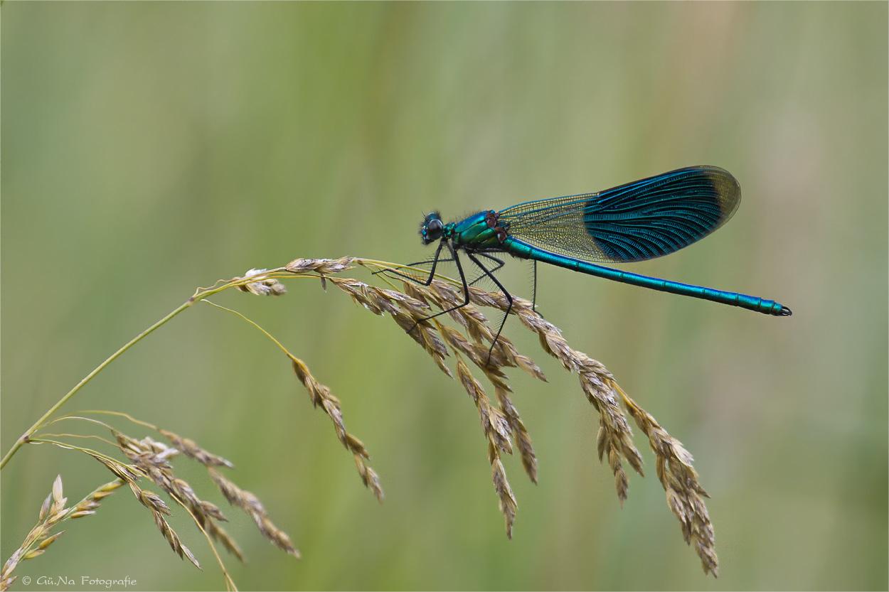 Blauflügel Prachtlibelle ( (Calopteryx virgo)