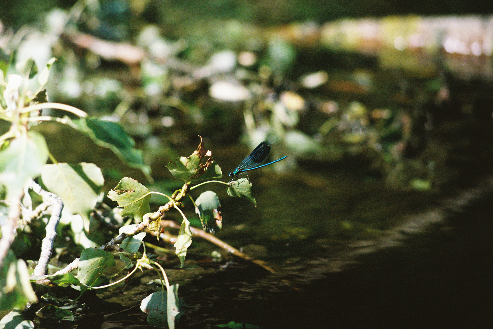 Blauflügel Prachtlibelle (Calopteryx virgo)