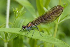 Blauflügel-Prachtlibelle (Calopteryx virgo) (W)