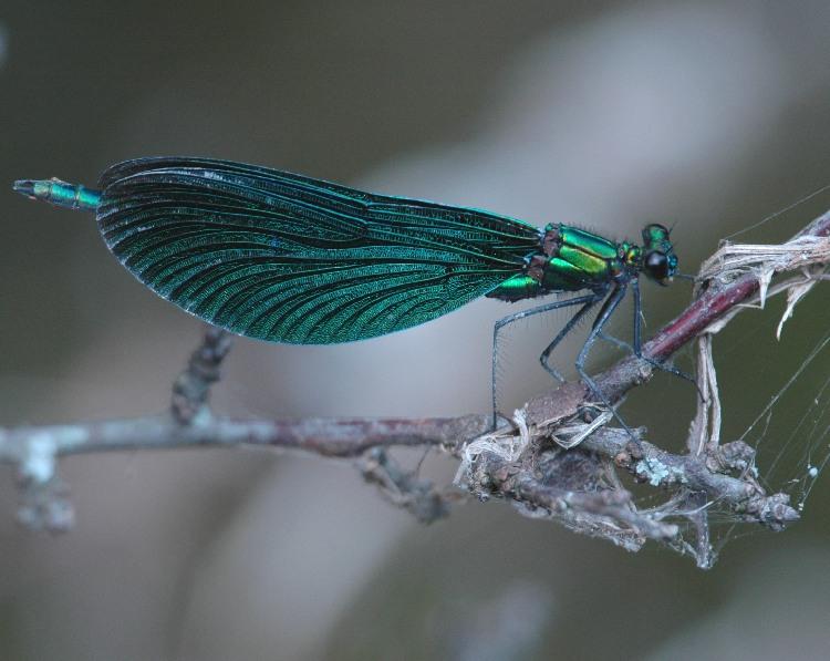 Blauflügel-Prachtlibelle (Calyopteryx virgo)