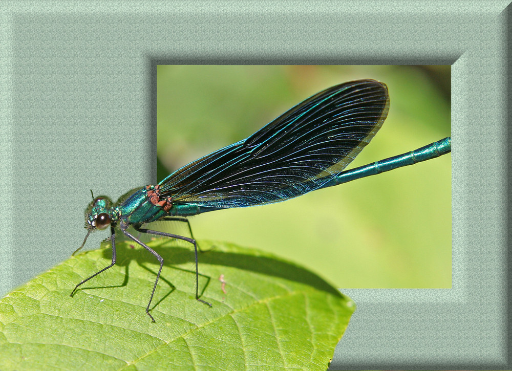 Blauflügel-Prachtlibelle (Männchen)