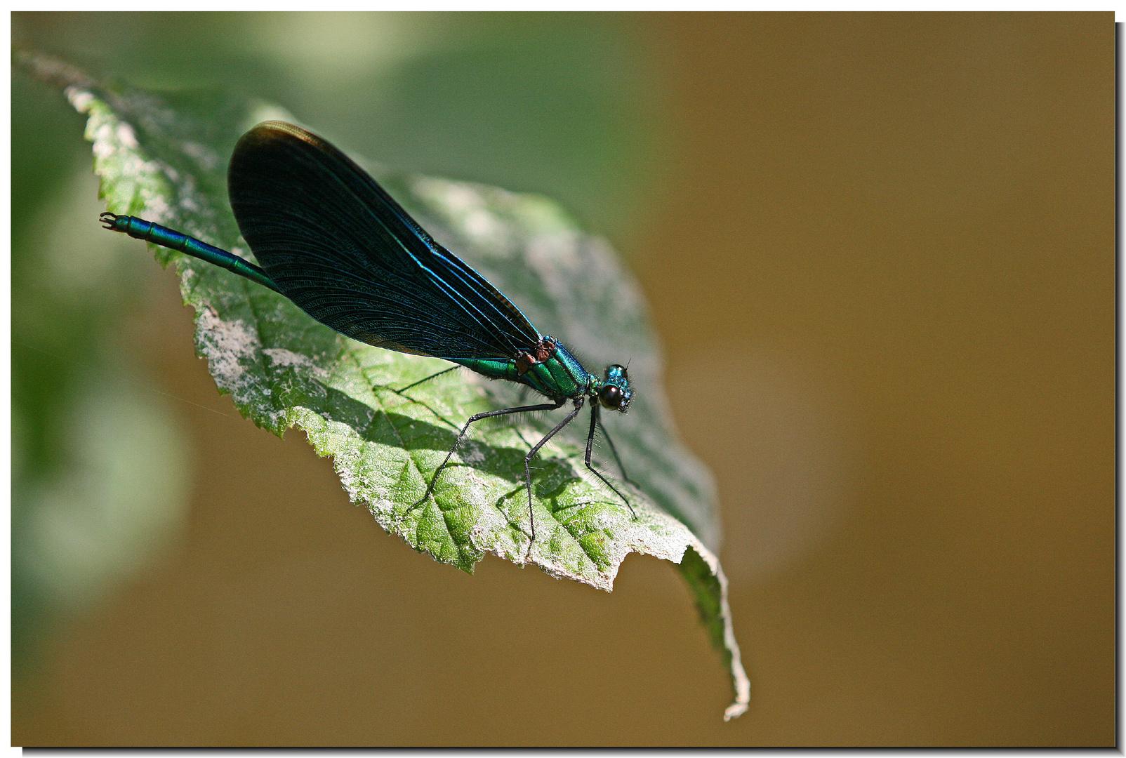 Blauflügel-Prachtlibelle (männlich)
