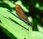 Blauflügel Prachtlibelle-Weibchen