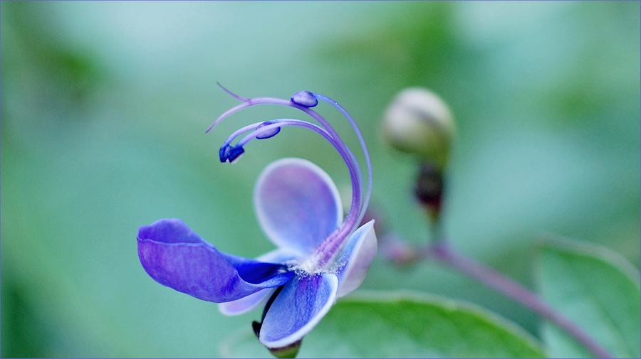 Blauflügelchen