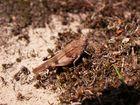 Blauflügelige Ödlandschrecke (Möter)