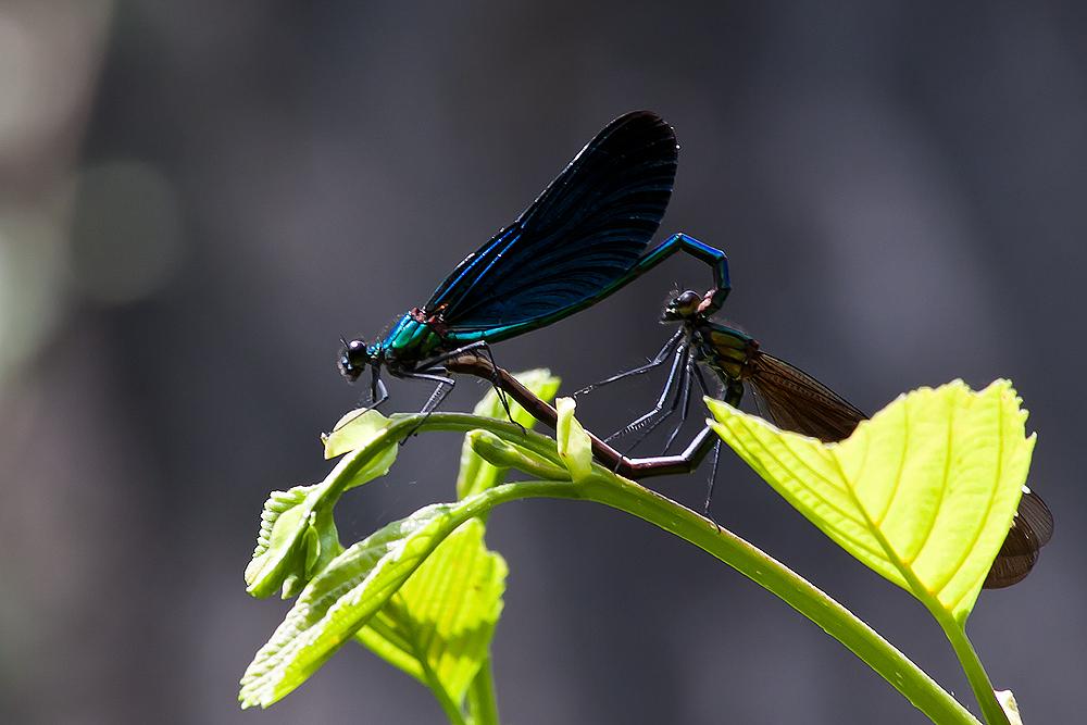 Blauflügelige Prachtlibellen bei der Paarung