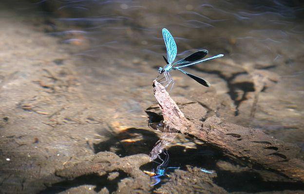 Blauflügelpracht -  libelle