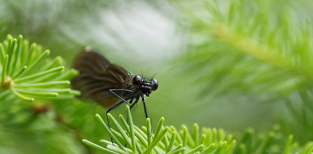 Blauflügelprachtlibelle - Weibchen beobachtet mich vom Tannenbaum aus
