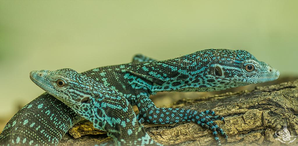 Blaugefleckter Baumwaran