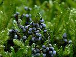 Blaugraue Perlen am Moos