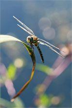 Blaugrüne Mosaikjungfer (crop)