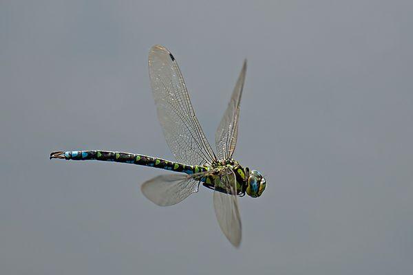 blaugrüne Mosaikjungfer im Flug