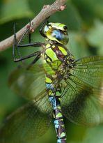 Blaugrüne Mosaikjungfer oder Königslibelle?