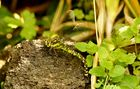 Blaugrüne Mosaikjungfer (W) bei der Eiablage.