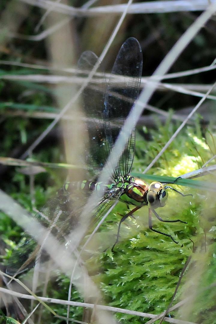 Blaugrüne Mosaikjungfer Weibchen