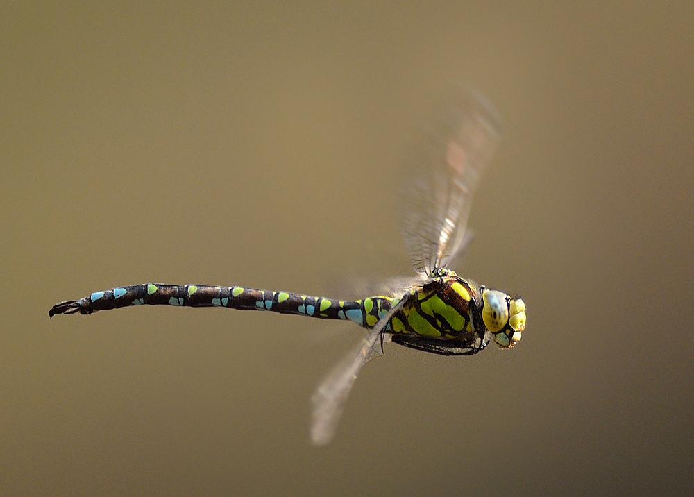 Blaugrünen Mosaikjungfer im schnellen Flug im Gegenlicht ( 2 )