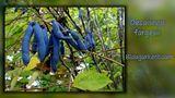 Blaugurkenbaum von Luci 11