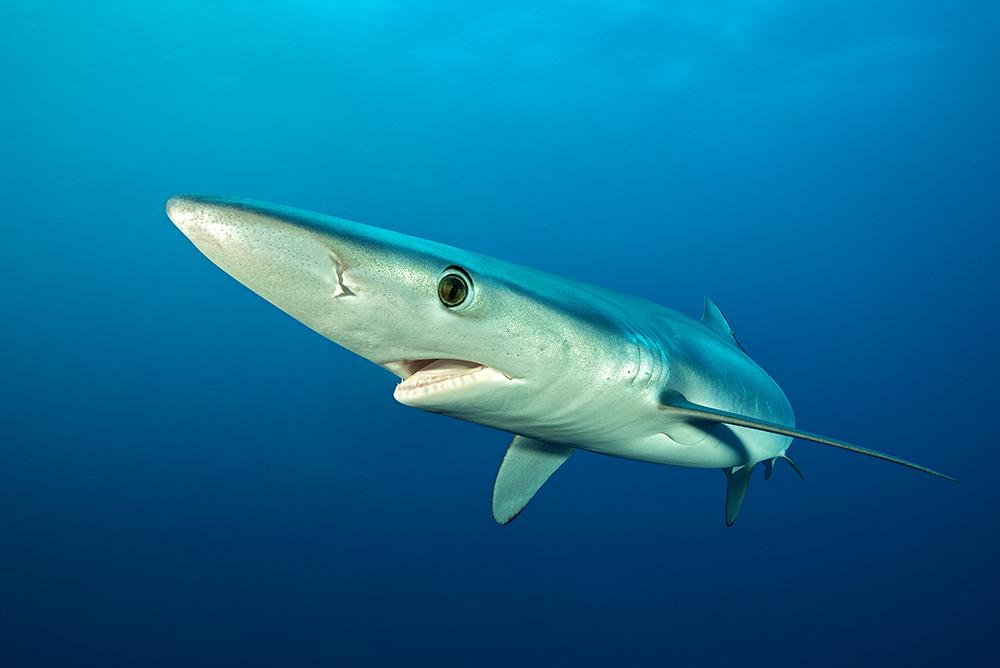 Blauhai vor Kapstadt