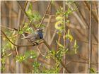 Blaukehlchen singend