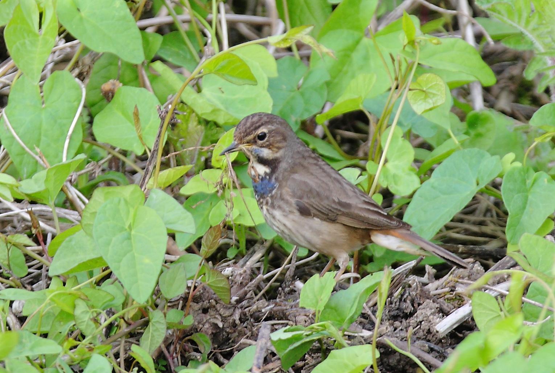 Blaukehlchen weiblich