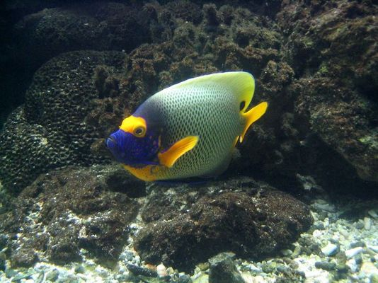 Blaumaskenkaiserfisch