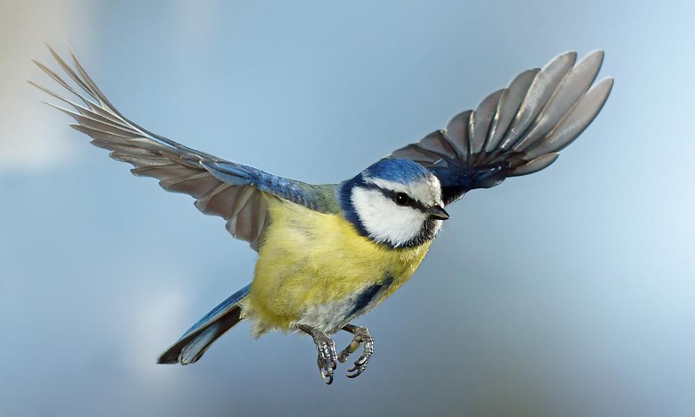 blaumeise foto amp bild tiere wildlife wild lebende