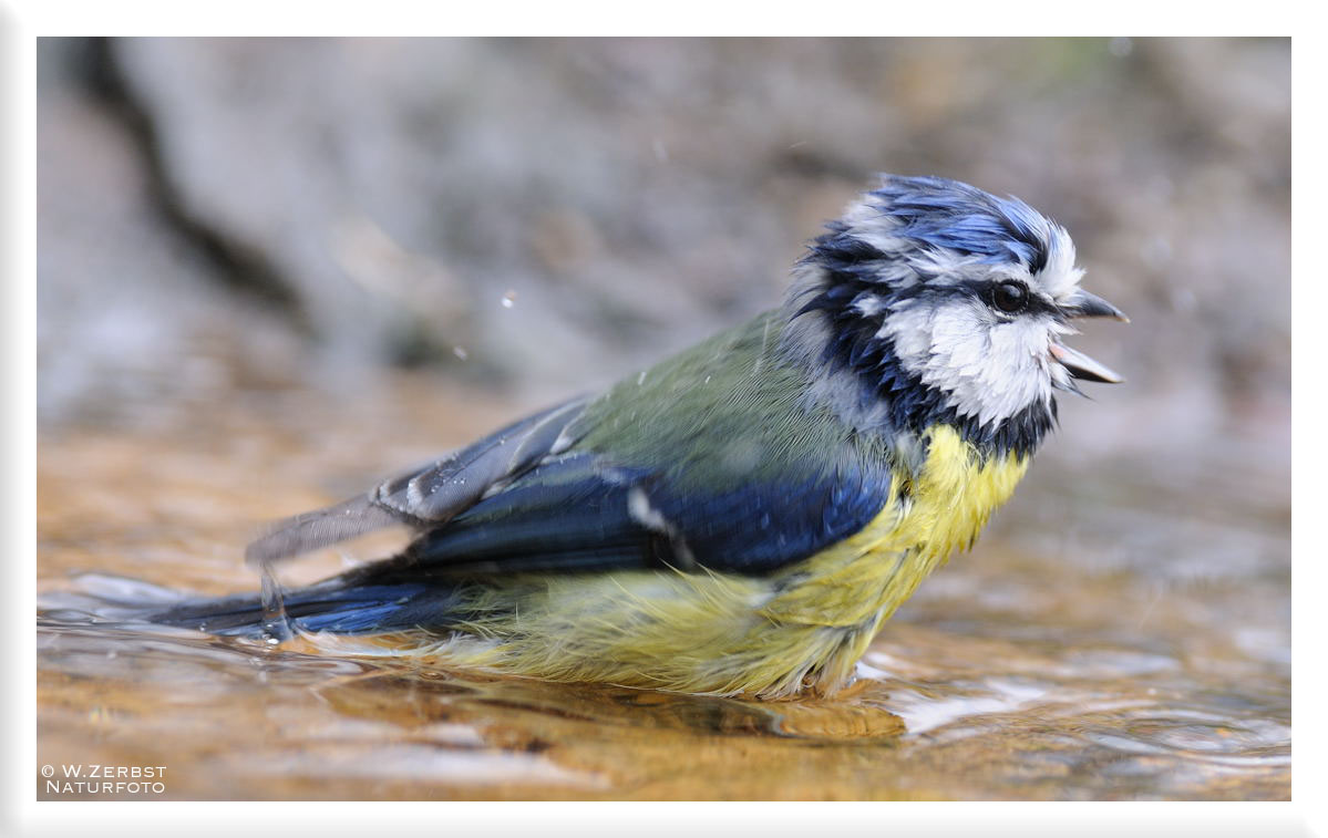 - Blaumeise bei der Morgentoilette -  ( Parus caeruleus )