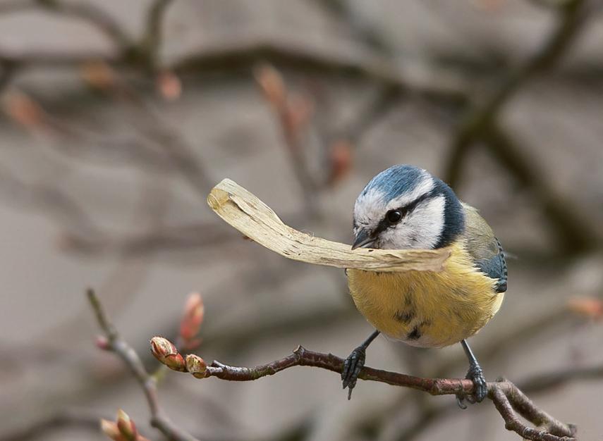 Blaumeise beim Nestbau(2)