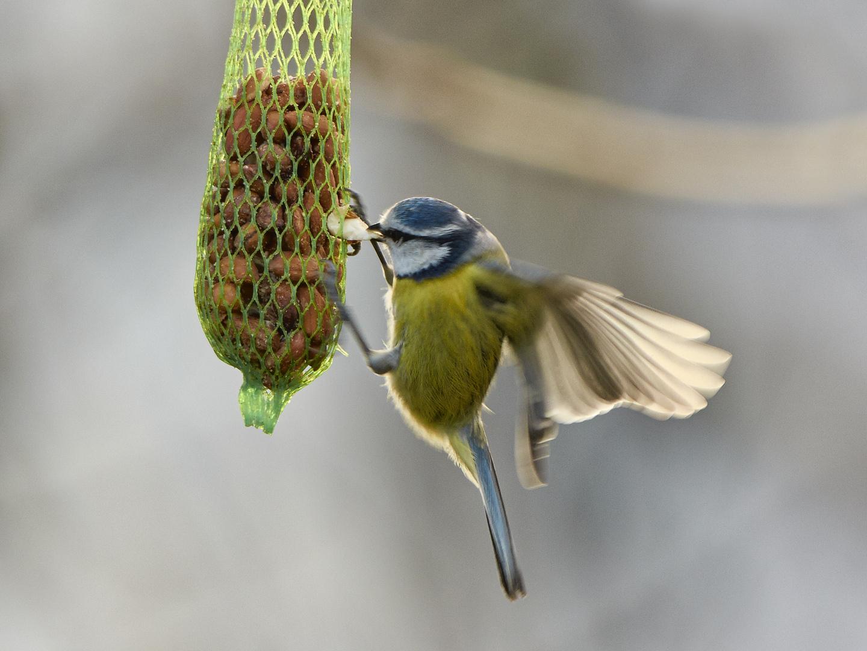 Blaumeise beim Picken