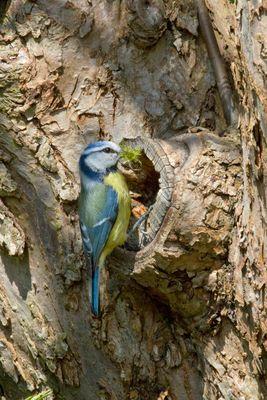 Blaumeise bein Nestbau