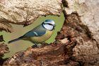 Blaumeise (Cyanistes caeruleus, Syn. Parus caeruleus)