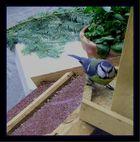 Blaumeise (durch's Fenster aufgenommen)