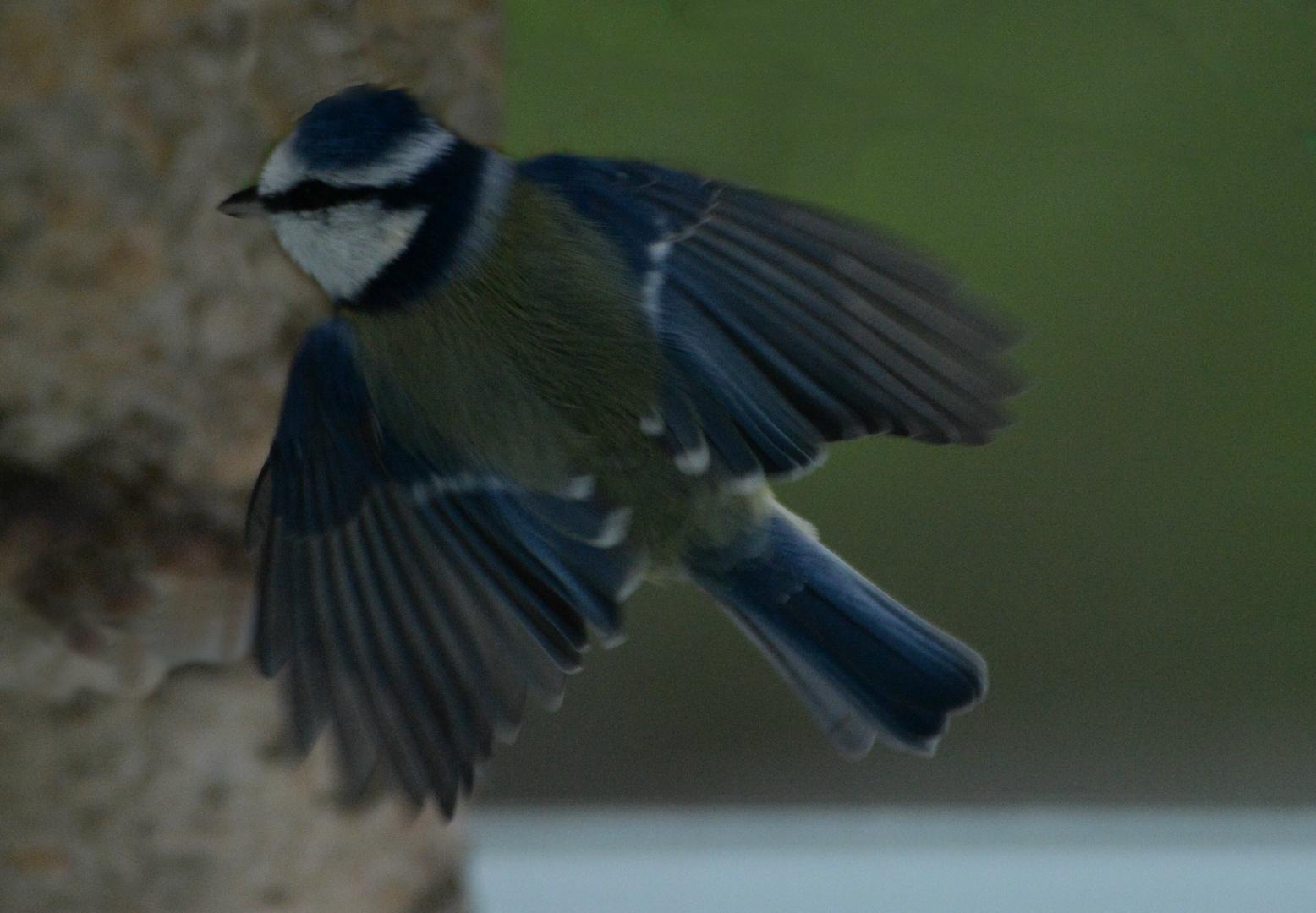 Blaumeise im Anflug