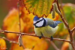 Blaumeise im Herbstlaub