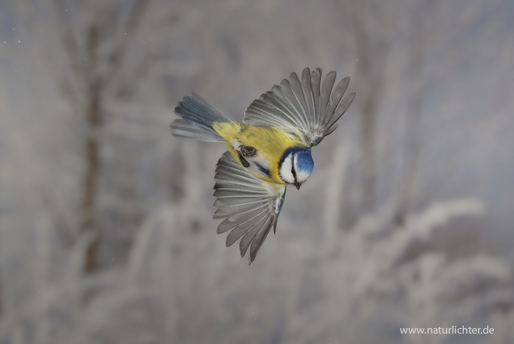 Blaumeise im Sturzflug
