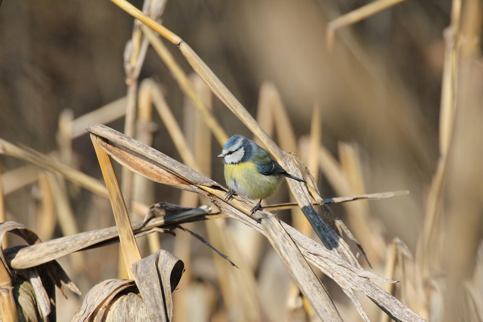 Blaumeise im Weizenfeld