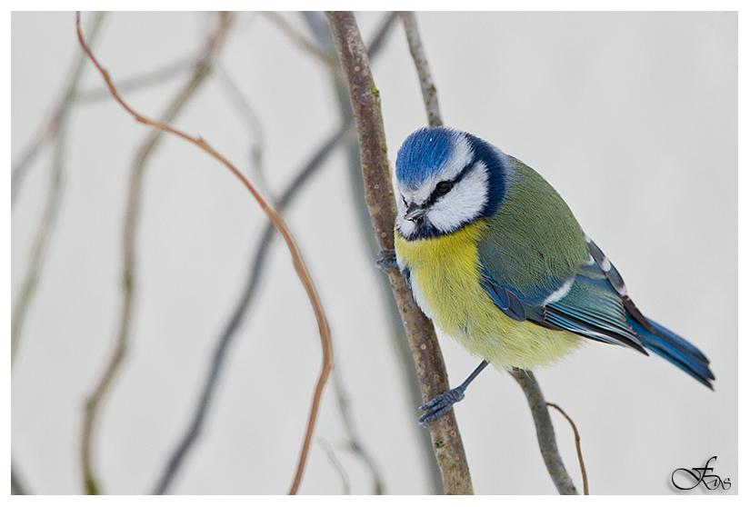 Blaumeise im Winter