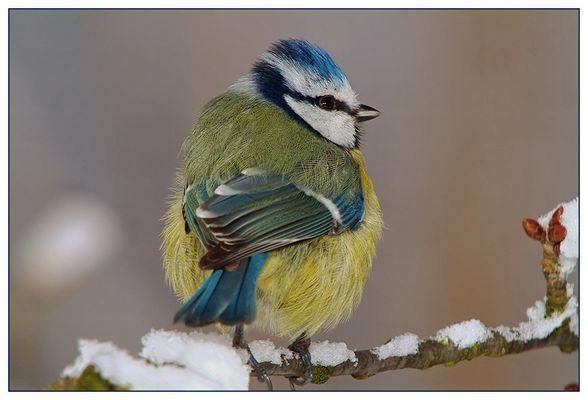 Blaumeise im Winter (Parus caeruleus)