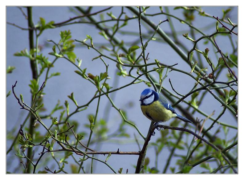 Blaumeise in Heckenrose
