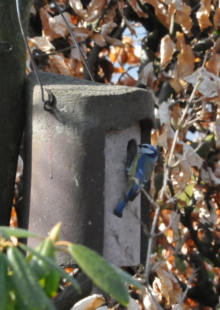 Blaumeise mit Eigenheim