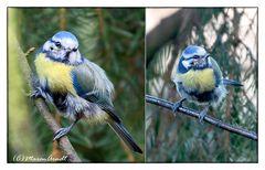 Blaumeise - Stunde der Wintervögel ..